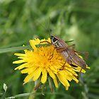 Grasshopper on a dandelion by Elena Skvortsova