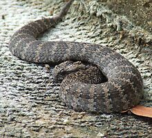 """ Death Adder'... by debsphotos"