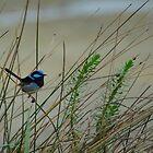 Blue Wren by Rhana Griffin