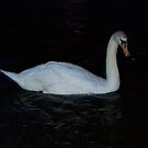 Single Swan by Glenn Esau