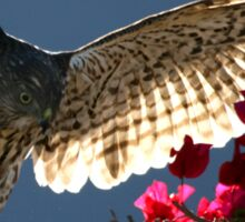 Cooper's Hawk Hunting In Bougainvillea Sticker