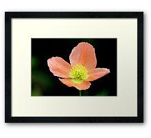 Peach Dew Framed Print