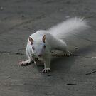 Albino Squirrel by zenmatt