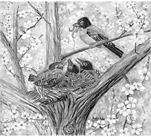 Robin's Nest - Breakfast Time - Charcoal Photographic Print