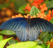 Blue Wings by Gaby Swanson