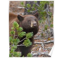 Black Bear with Cinnamon Color Poster