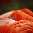 Flamingo by SolomomSC