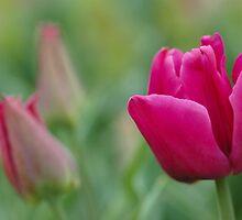 Pink Tulips by Mirka Rueda Rodriguez