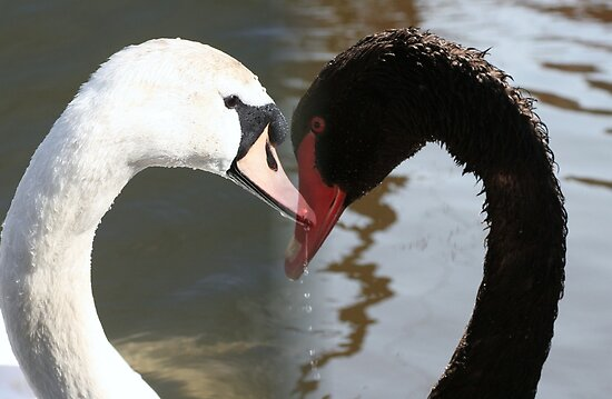 white swan black swan by Robert Deaton