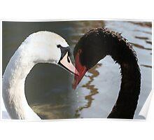 white swan black swan Poster