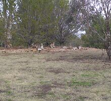 kangaroos rest time in Canberra by tigerboy9