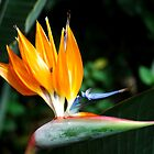 Bird of Paradise by BarbsUSA