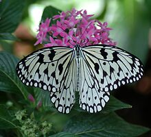 Black & White Butterfly by BarbsUSA