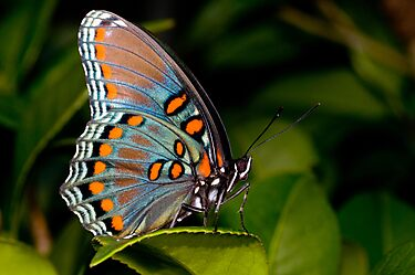 Red Spotted Purple Butterfly by Bonnie T.  Barry