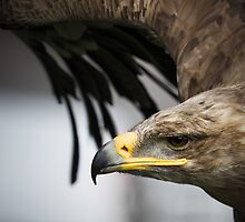 Target Locked - Eagle eye by thierrymatsaert