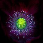 Poppy Macro by alan shapiro