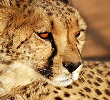 Regal Cheetah by PPDesigns