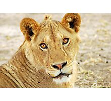 Lions at Rest Photographic Print