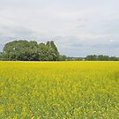 Rape Field in Dalsland by HELUA