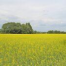 Rape Field in Dalsland by HELUA