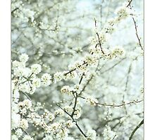 Blackthorn Blossom by Alyson Fennell