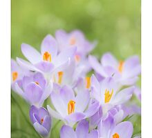 Spring Crocus by Alyson Fennell