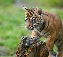 Sumatran Tiger Cub Playing by journeysincolor