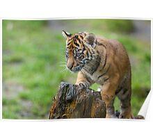 Sumatran Tiger Cub Playing Poster