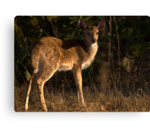 Spotted Deer Fawn Canvas Print