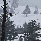 Bald Eagle's Vigil by Ken McElroy
