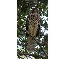 Red Shouldered Hawk 2 Photographic Print
