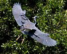 Majestic Wing Span by Mary Campbell