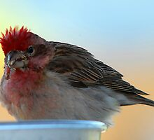 Cassin's Finch - Mohawk by Ryan Houston