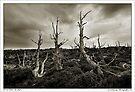 Proud Pines No More by Robert Mullner