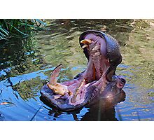 Hungry Hippo. Adelaide Zoo Photographic Print
