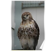 I AM ONLY A POOR LITTLE REDTAIL Poster