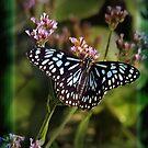 butterfly by shadowlea