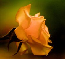 THE PEACH ROSE by Magaret Meintjes
