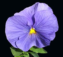True Blue Pansy on Black Background by kathrynsgallery