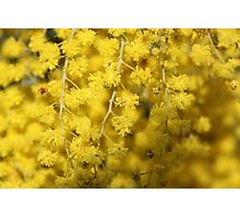 Scents of Wattle Photographic Print
