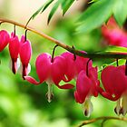 Old Fashioned Bleeding Hearts by Debbie Oppermann