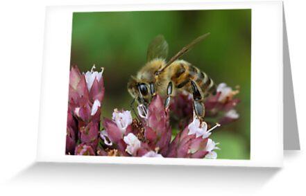 honeybee on oregano  by mimbravastudio