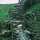Tourists disturbing sheep Hadrian's wall Milecastle England198405260048 by Fred Mitchell