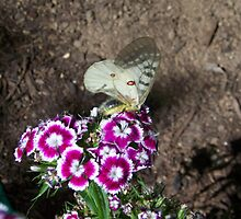 Butterfly on Sweet Williams by roxiedog