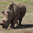 Rhino Mudpack by John Sharp