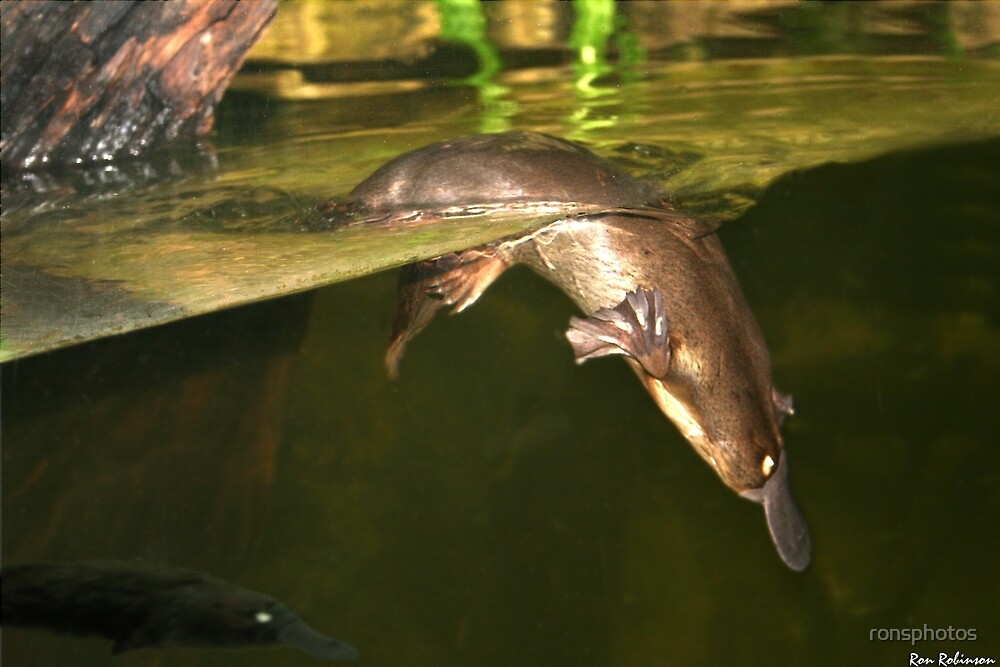 Australian Platypus by ronsphotos