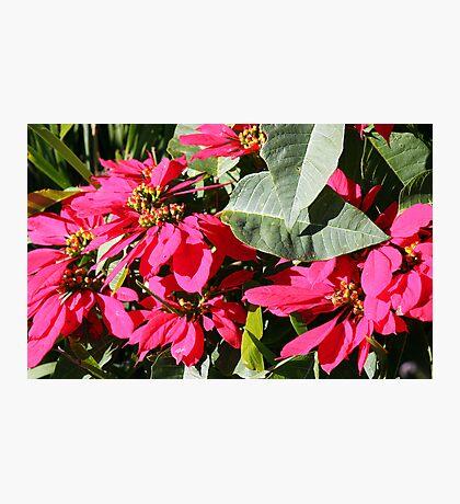 Poinsettia ! Photographic Print
