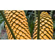 Cycad - Gone to seed. Photographic Print
