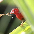 Nesting Crimson Finch by Stuart Cooney