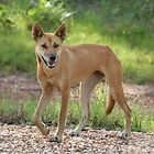 Dingo by Stuart Cooney
